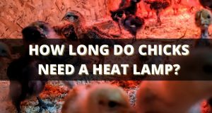 How Long Do Chicks Need a Heat Lamp?